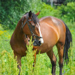 Horse on a green grass — Stock Photo #27000543
