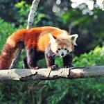 Red panda on tree — Stock Photo #27000607