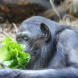 Foto Stock: Chimpanzee eats greenery