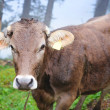 Alpine cow — Stockfoto #27016653