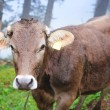Foto Stock: Alpine cow