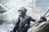 Cute baby Chimpanzee — Stock Photo