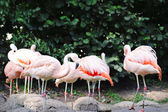 Flamingos in summer — Stock Photo