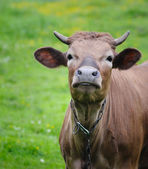 The young farm cow stands on field, (animals series) — Foto de Stock