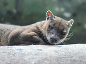 Fossa (Cryptoprocta ferox), Madagascar, Africa — Stock Photo