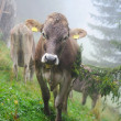 Stock Photo: Alpine cow in the misty forest