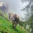 Alpine cows in the misty forest — Stock Photo