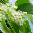 Flowers of linden tree — Stock Photo