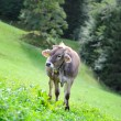 Stock Photo: Cow in alpine surrounding