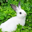 Baby white rabbit in grass — Stock Photo