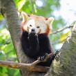 Red panda on tree — Stock Photo #28139215