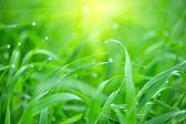 świeża trawa zielona z kropli wody w słońcu — Zdjęcie stockowe