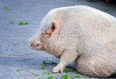 Closeup miniature pig (sus) view of profile — Stock Photo