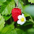 Wild strawberry — Stock Photo