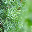 Stock Photo: Background of Shrub of Juniper (Juniperus)
