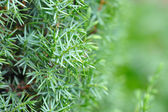 Background of Shrub of Juniper (Juniperus) — 图库照片