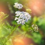 Flowers of Common Yarrow (Achillea millefolium) — Stock Photo #28947069