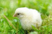 Pollo poco sull'erba — Foto Stock