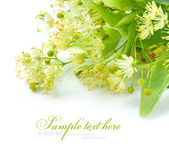 Flowers of linden tree on a white background — Stock Photo