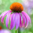 Echinacea flower on natural green background — ストック写真