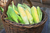 Fresh corn cobs in a basket — Stock Photo
