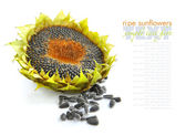 Autumn sunflower with ripe seeds on white background — Stock Photo