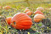 Pumpkin field with different type of pumpkin on autumn sunny day — Stock Photo
