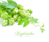 Small group of cones of hop with sheets (Humulus lupulus) on a white background — Stock Photo