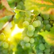 Green grapes on vine in sunbeams — Stock Photo