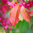 Stock Photo: Beautiful autumn background is with sprig of spindle tree