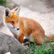 Stock Photo: Red Fox Cub
