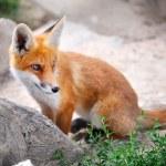 Red Fox Cub — Stock Photo
