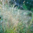 Stock Photo: Grass under the morning sunlight