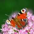 European Peacock (Inachis-io) butterfly on a pink flower — Stock Photo