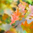 Stock Photo: Autumn leaves of red oak