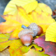 Brown acorns on autumn leaves, close up — Stock Photo #34453185