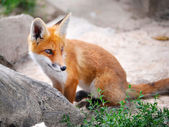 Red Fox Cub — Stock Photo