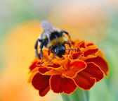 Bumble-bee (Bombus terrestris) collecting nectar and pollen from — Stock Photo
