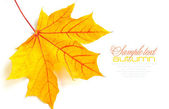 Autumn maple leaf isolated on white background — Foto Stock