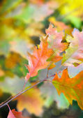 Autumn leaves of red oak — Stock Photo