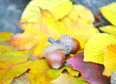 Brown acorns on autumn leaves, close up — Stock Photo