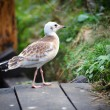 Young Black-headed Gull (Chroicocephalus ridibundus) — Stock Photo