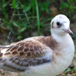 Young Black-headed Gull (Chroicocephalus ridibundus) — 图库照片