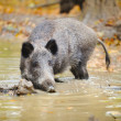 Wild boar in autumn forest — Stock Photo #34716393