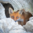 Young Red Fox Hiding in Tree Stump Den — Stock Photo