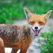 Red Fox Cub in grass. The animal smiles — Stock Photo #34716439