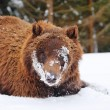 Stock Photo: Wild brown bear in winter forest