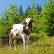 A cow is on a mountain pasture — Stock Photo