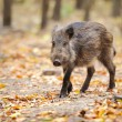 Wild boar in autumn forest — Stock Photo #34716595