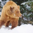 Wild brown bear in winter forest — Stock Photo